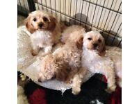 Toy cavapoo puppies