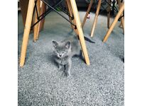 MISSING CAT/KITTEN - 6 month old grey cat gone missing from Miskin Mountain Ash
