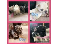 Unique stunning Frenchie's forsale