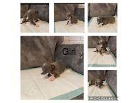 Whippet/Italian greyhound puppies