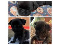 4 gorgeous pug puppies remaining
