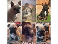 3 Gorgeous boys left!! french bulldog puppies