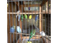 Young budgies for sale