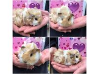 Baby female guineas