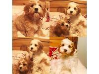 2 beautiful cavachon puppies