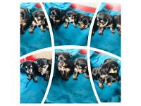 Chorkie puppies looking for their new homes