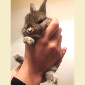 Adorable Tiny Mini Lop / Netherland Dwarf Bunny