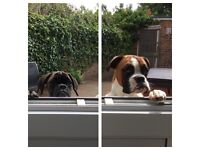 Boxer Boarding. Doggy day care, boarding & walks for Boxer & large breeds