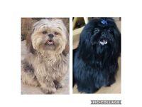 Shih Tzu Puppies 😍