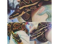 Royal Python with 5ft Vivarium and Accessories