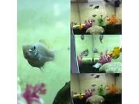 Balloon bellied Mollie fish