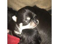KC Reg Chihuahua Girls