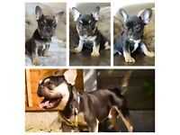 FRENCH BULLDOG PUPPYS BLUE AND TAN QUAD BLACK &TAN QUAD MALE AND FEMALE TRIPLE CARRIER GIRL £4000