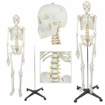 "70"" Medical Skeleton Model Life Size Human Skeleton Model for Anatomy Study"