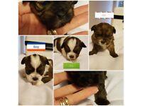Shitzu cross pups for sale