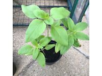 "Sunflower Plants 16"" Seedlings Three Sunflowers Per Pot"