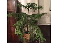 Araucaria indoor tree, unique old tree