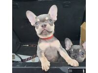 French Bulldogs - Ready to leave