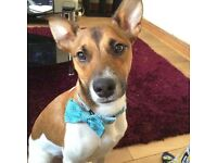 Male jack Russell 1 1/2 years Buddy