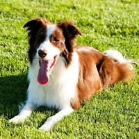STOLEN/ LOST BORDER COLLIE