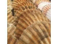 Scallop Shells Hand Dived Sustainably Sourced
