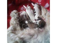 Puppies maltshui x bichonfres