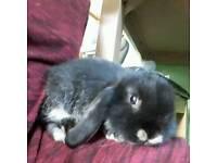Last mini lop rabbit