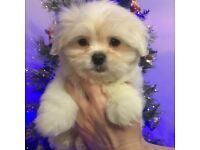 Cute Maltese Pekingese cross Puppy similar dog maltishi