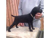 Lakeland terrier pups for sale,two all black girls left