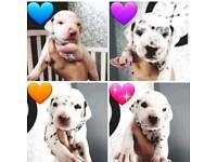 Beautiful Dalmatian Puppies
