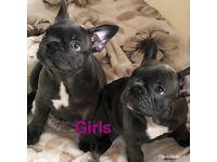 Blue French bulldog pups