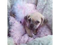 Beautiful puggle