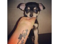 Male chihuahua ready to leave for new home