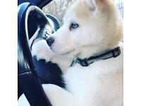 Beautiful Akita & husky mix pup