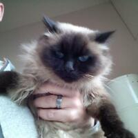 female ragdoll mix cat Zoe