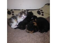 only 2 dark torties left ragdoll x kittens