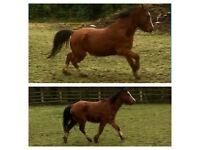 REDUCED pony