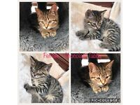 British Short Hair - Female Kittens For Sale - Tabby