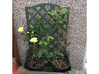 Wooden trellis planter and roses