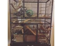Year old Degus and cage
