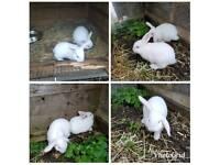 Albino lop cross Rex bunnies