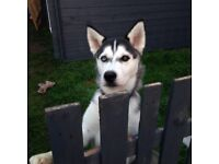 6 month bi-eyed husky boy