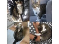Sweetest 4 year old tabby cat looking for his forever home