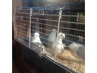 Pigeons for sale rollers
