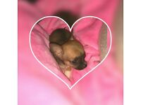 TINY CHIHUAHUA GIRL FOR SALE