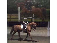 Dutch Warmblood mare 16.2h
