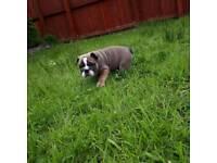 British bulldog tri puppy