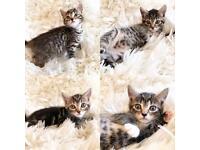 Beautiful Tabby Kittens 8 weeks old ready now