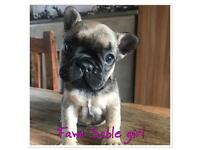 Quality Frenchie Puppies off Health Tested Parents