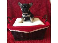Black and Tan French Bulldog Quad Carrier Male for sale